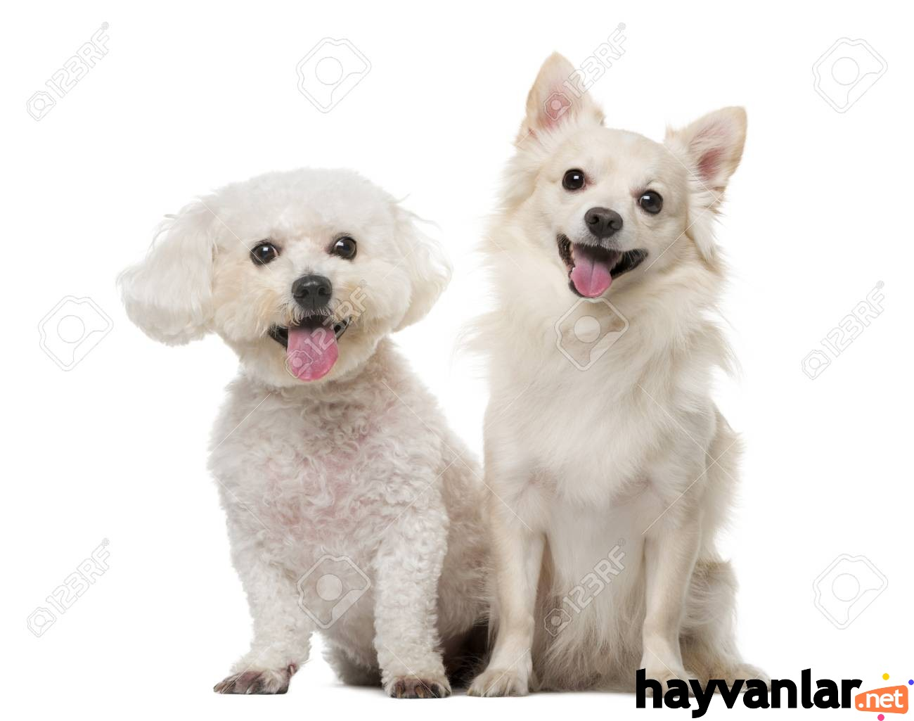 41957293-maltese-and-chihuahua-in-front-of-a-white-background.jpg