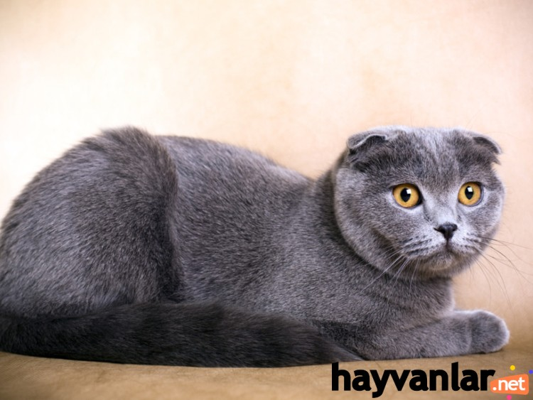 Scottish-Fold-1.jpg