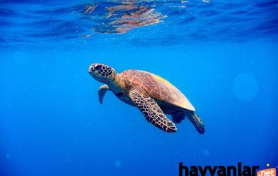 Su Kaplumbağası Türleri Nelerdir?