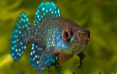 İnci Balığı Özellikleri ve Bakımı