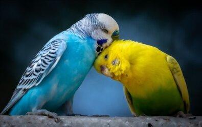 Muhabbet Kuşu Eğitiminde Asla Yapılmaması Gerekenler