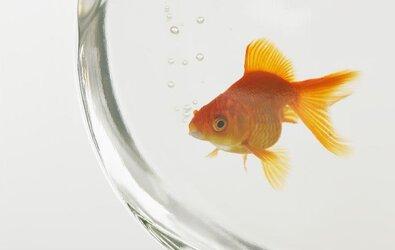 Fanusta Balık Beslenir Mi?