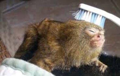 Parmak Maymun (Pygmy Marmoset) Bakımı