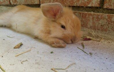 Hamile Tavşan Bakımı ve Çiftleşme Süreci